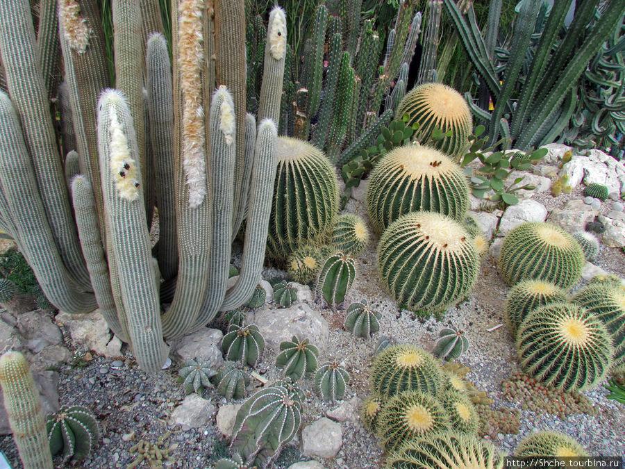 """гордость коллекции — эхинокактус Грузона (Echinocactus grusonii) или """"золотой шар"""" – 4 экземпляра шаровидных мексиканских кактусов 50-летнего возраста, высотой 0,8 м и диаметром до 1 м, цветущих и плодоносящих."""