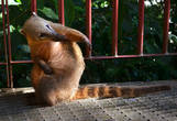 Итак, знакомьтесь! На самом деле, он не то, чтобы совсем енот — хотя из семейства енотовых точно! Зовут его коати — и происходит он из рода носух. Название