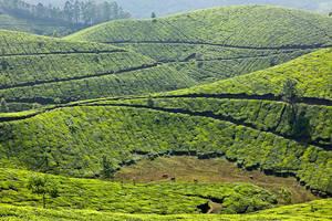 Чайные плантации в Муннаре, Керала — замечательное место
