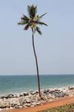 Одна из высоченных пальм Кералы