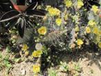 Цветение кактусов.