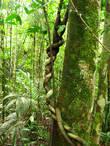Наутро, после завтрака с попугаями, наш неугомонный гид потащил нас в джунгли. Далеко идти не пришлось — мы и жили в джунглях. Где заканчивался эколодж, и где начинались джунгли — было неясно