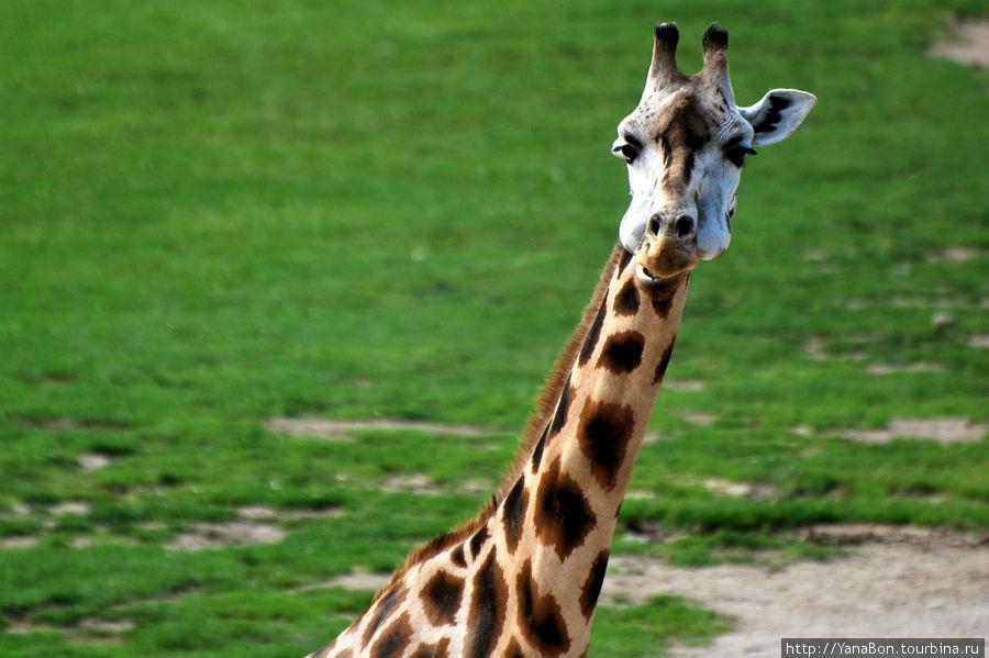 Жирафы потрясающие, как правило они подходят достаточно близко и их можно очень хорошо рассмотреть