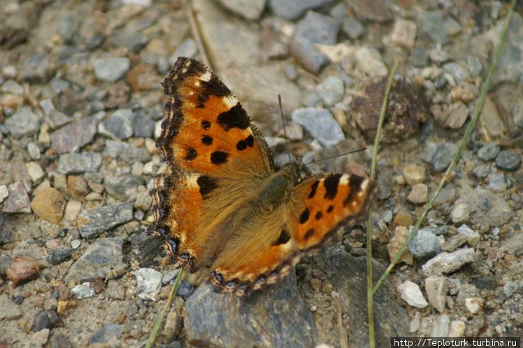 Бабочка — мама гусениц