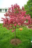 А эта яблонька для меня особенно дорогая, потому что она — наша, и растет она в нашем саду.