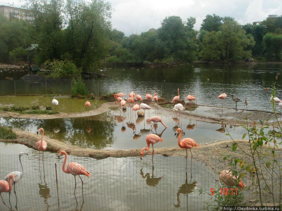 Стройные и высокие розовые фламинго