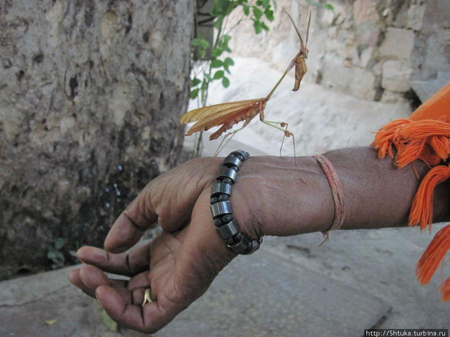 Джайпур, местный богомол:)