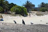 Пингвины на пляже в Кейптауне никого не боятся и живут своей жизнью.