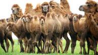 В мае верблюжата уже подросли, но взрослые животные ни на секунду не оставляли их без присмотра. Все попытки приблизится к верблюжатам поближе, заканчивались тем, что взрослые оттесняли нас в сторону, отгоняя малышей
