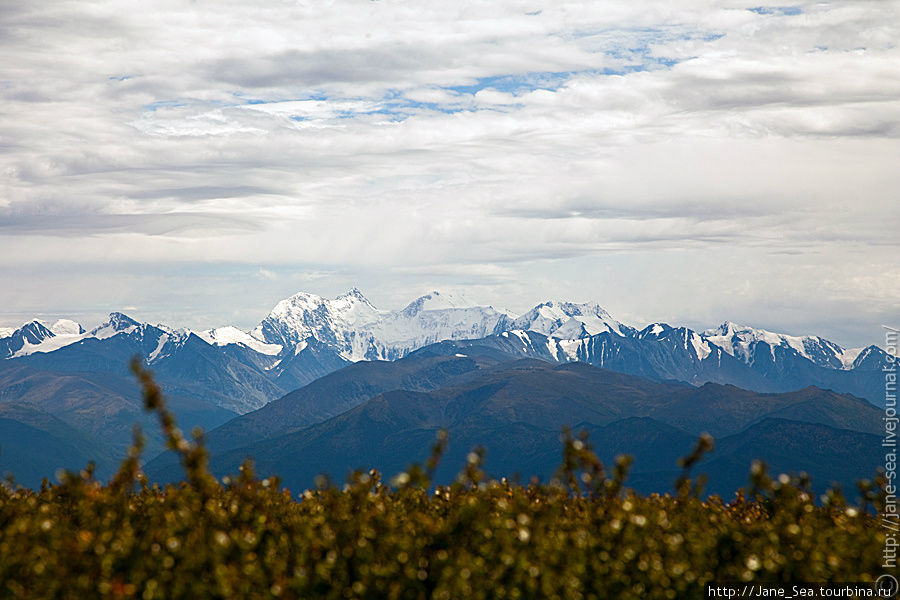 Вид на Белуху и Катунский хребет с Тургундинского плато.  Карликовая березка на переднем плане.