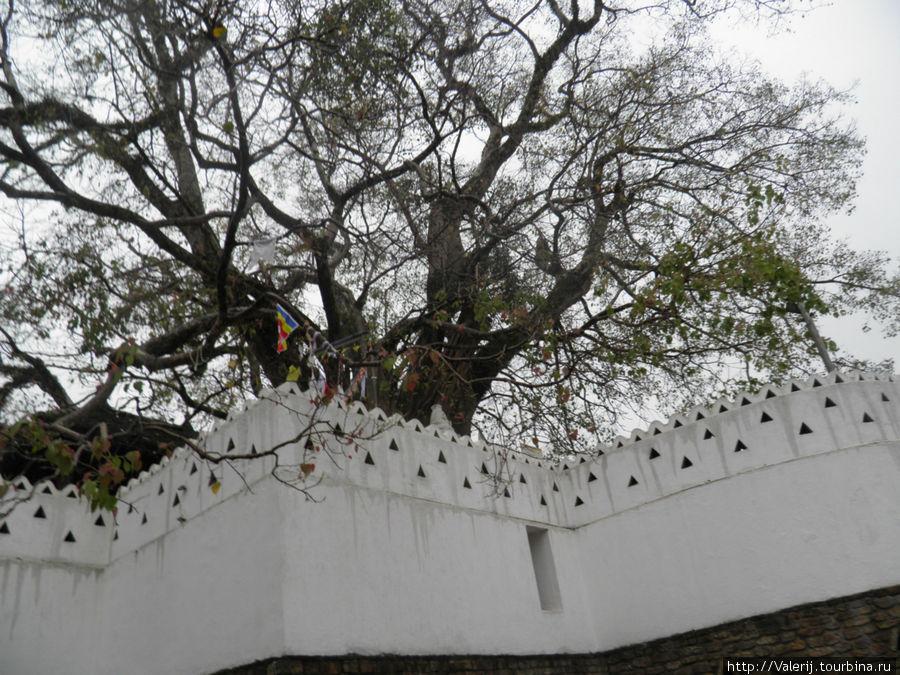Дерево из отростков дерева, под которым медитировал Будда