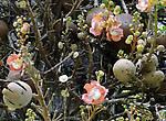 Удивительное зрелище — свисающие кисти восковых цветов, окрашенных в розовый цвет. Можно одновременно видеть  весь цикл образования плодов – от бутона до зрелых ядер.