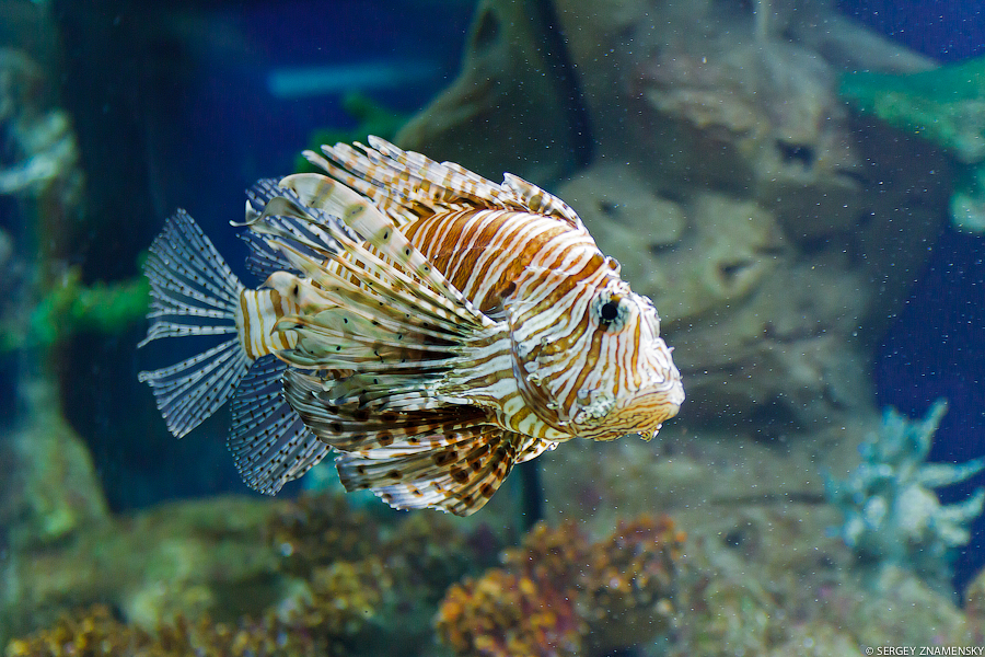 Колоритная рыба-петух: