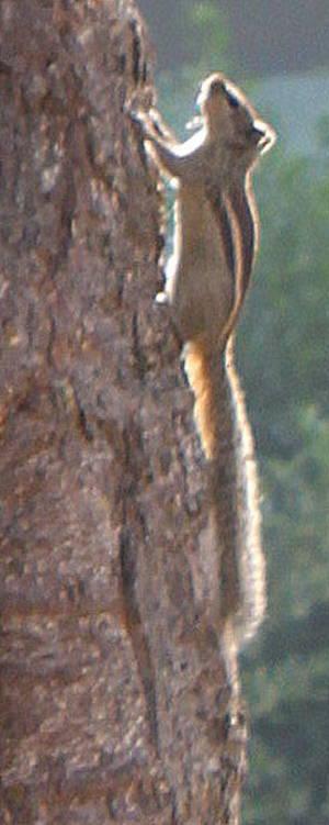 Бурундучок прыгающий по деревьям