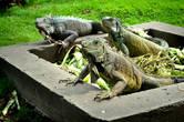 А родственникам галапагосских драконов, кажется, нет до них никакого дела. Разве что посмотрят требовательно, как бы намекая, что неплохо бы подогнать еще пару кочанов капустки — и снова погружаются в неторопливое жевание, покой и созерцание…