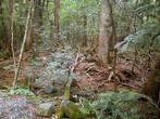 Таким мне увиделся лес у подножия Фудзи