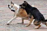 Бездомные псы постоянно дерутся между собой, но на прохожих не нападают