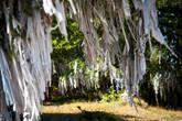 Ритуальные ленты кыйра на деревьях на Улаганском перевале