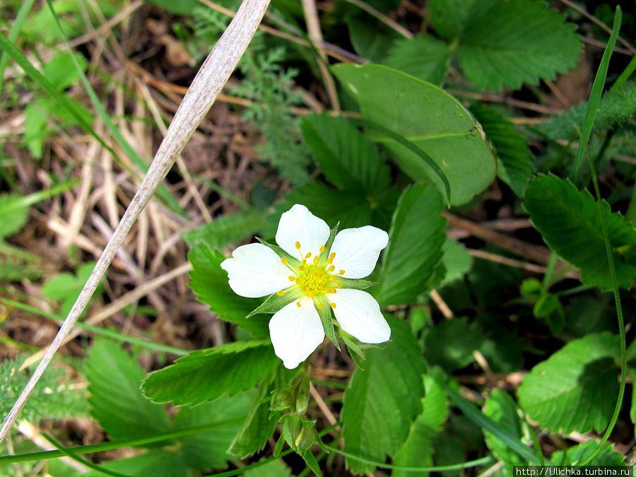 Первый цветочек земляники