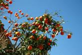 здесь снимают по 3 урожая цитрусовых в год!