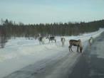 При подъезде к Ивало, обычное дело — олени на дорогах