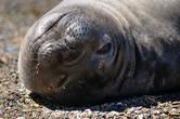Честно скажу, на суше морские слоны выглядят довольно неуклюже и нелепо — перекатываются на брюхе по песку, как-то раскоординированно машут ластами или просто валяются и корчат физиономии всему вокруг! ;)