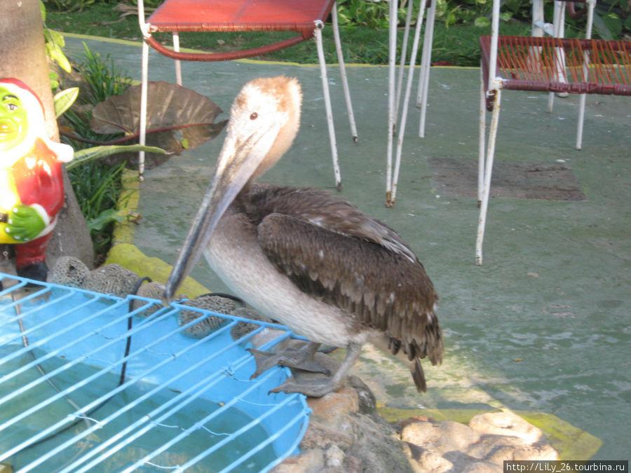 Пеликан во дворе дома
