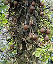 Плоды «дерева пушечных ядер» созревают через 8-9 месяцев и, опадая, раскалываются при ударе о землю, обнажая белую желеобразную мякоть с неприятным запахом.