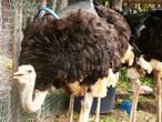 Оперение у страуса рыхлое и курчавое,  только  голова, шея и бёдра — без перьев. На груди тоже имеется голый участок кожи — грудная мозоль, на которую страус опирается, когда ложится