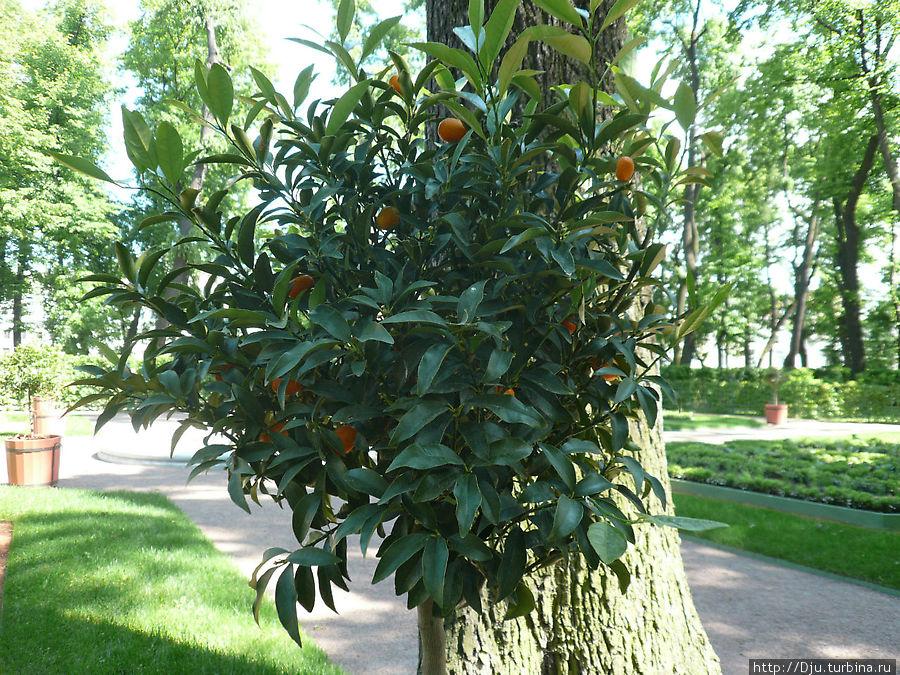 Фортунелла-китиайский золотой апельсин