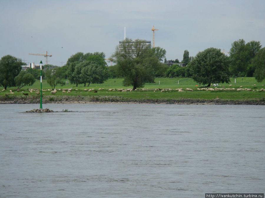 Прямо напротив Рейнской башни, на зеленом берегу Рейна пасутся овечки