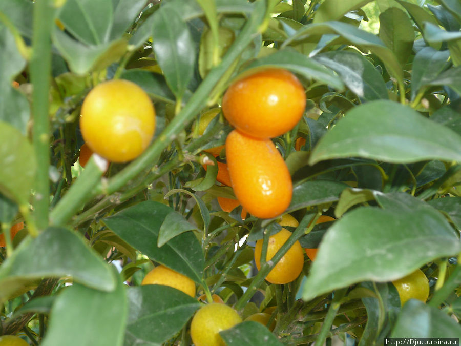 Плоды фортунеллы