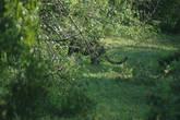 А это леопард кого-то кушает в кустах.