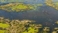 Лебеди-шипуны на озерах. Северный Каспий. Вертолетная съемка