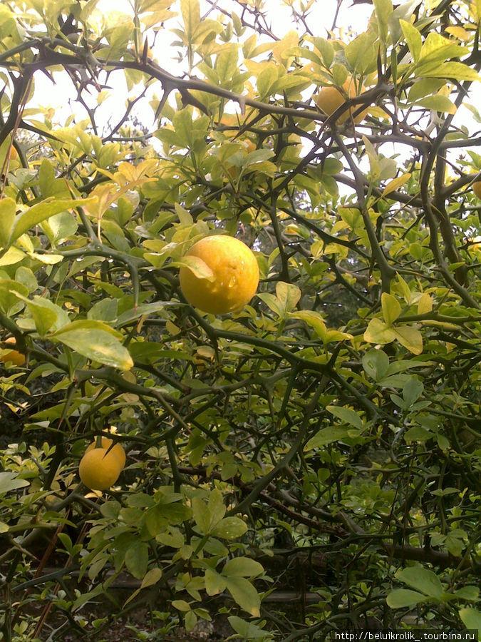 чудеснопахнущие плоды из санаторского парка
