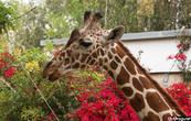 Элегантная мама-жирафа...