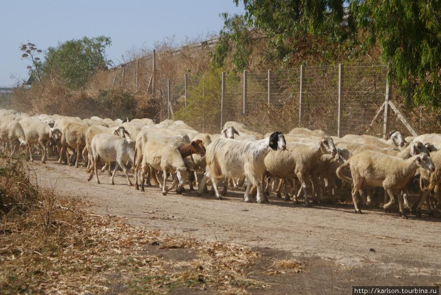 вислоухие овечки