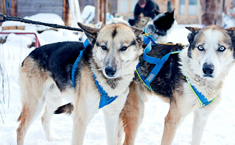 Коренные. Справа знаменитый пес Звонок. Его не удержишь! Фото: Алексей Бурыкин