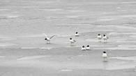 Черноголовые хохотуны на льду  реки Урал