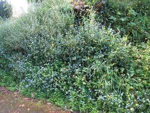 холмик цветущих  незабудок