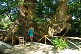 Проехали мимо какого то большого и чем то знаменитого дерева.