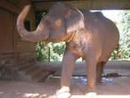 Слон на плантациях.