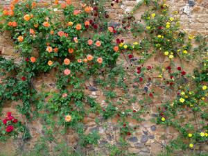 стена замка обвита разноцветными розами
