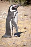 Поначалу ничто не предвещало… Типичный аргентинский Национальный парк с маленьким музеем, указателями и дорожками — то на сваях, то просто огороженными от «пингвиньей территории» белыми камушками. Обычная патагонская степь с низкими пожухлыми кустиками и просторами, уходящими за горизонт… И дорожка, уходящая куда-то в сторону океана. И вдруг — в двух шагах от этой самой дорожки, прямо на расстоянии вытянутой руки, стоит вот такое чудо! Застыл себе и то ли медитирует, то ли греется на солнышке, то ли просто заснул… ;)
