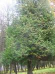 Это красивое и большое дерево. Более точно сейчас сказать не могу — в ботанике не силен, увы.