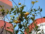 Лимоны давно созрели, но здесь их никто не срывает.