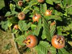 Странные плоды. Что это?