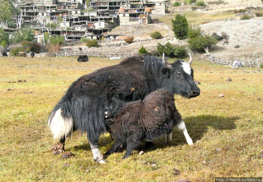 Напротив монастыря пасутся лохматые коровы — яки