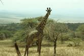 Жираф в Серенгетти
