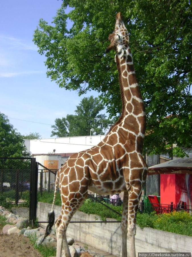 Между жирафом и деревом — каменный ров, так что претендовать он может только на самые верхушки дерева